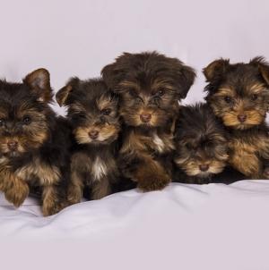 Quelles procédures pour acheter un chien en ligne ?